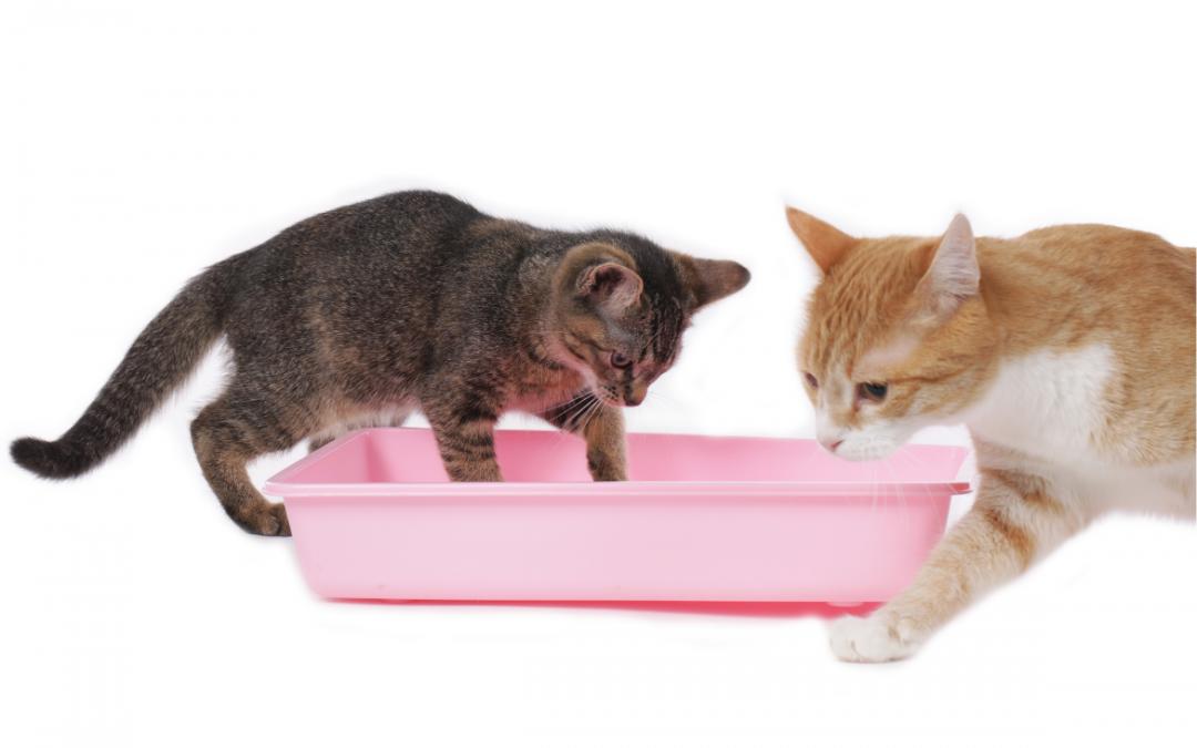 ➤ Cistinuria en gatos, qué es y como utilizar el test de adn para su detección.