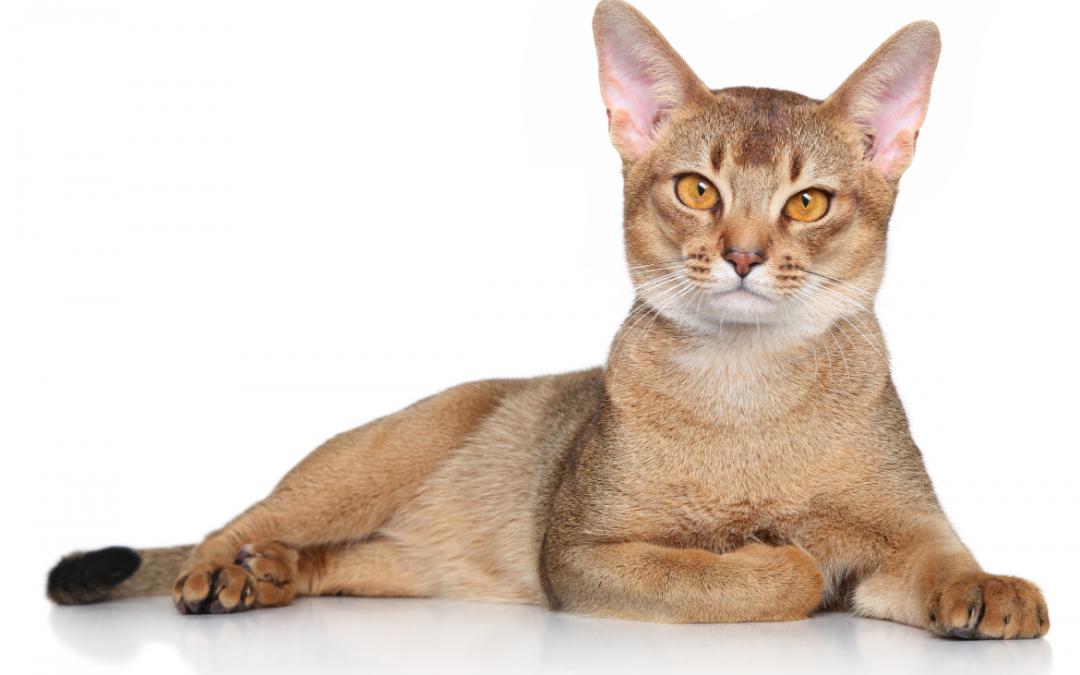 ➤ [11] Datos curiosos sobre el gato Abisinio.