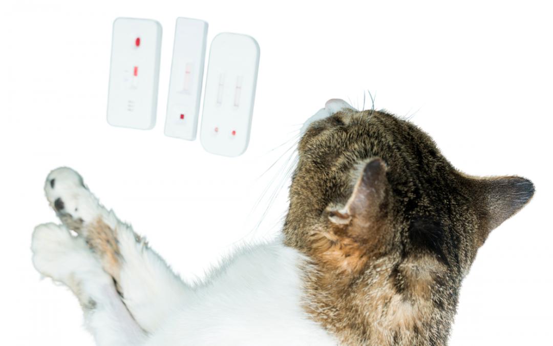 ➤ Grupos sanguíneos felinos: cuáles son y por qué es importante que conozcas el de tu gato.