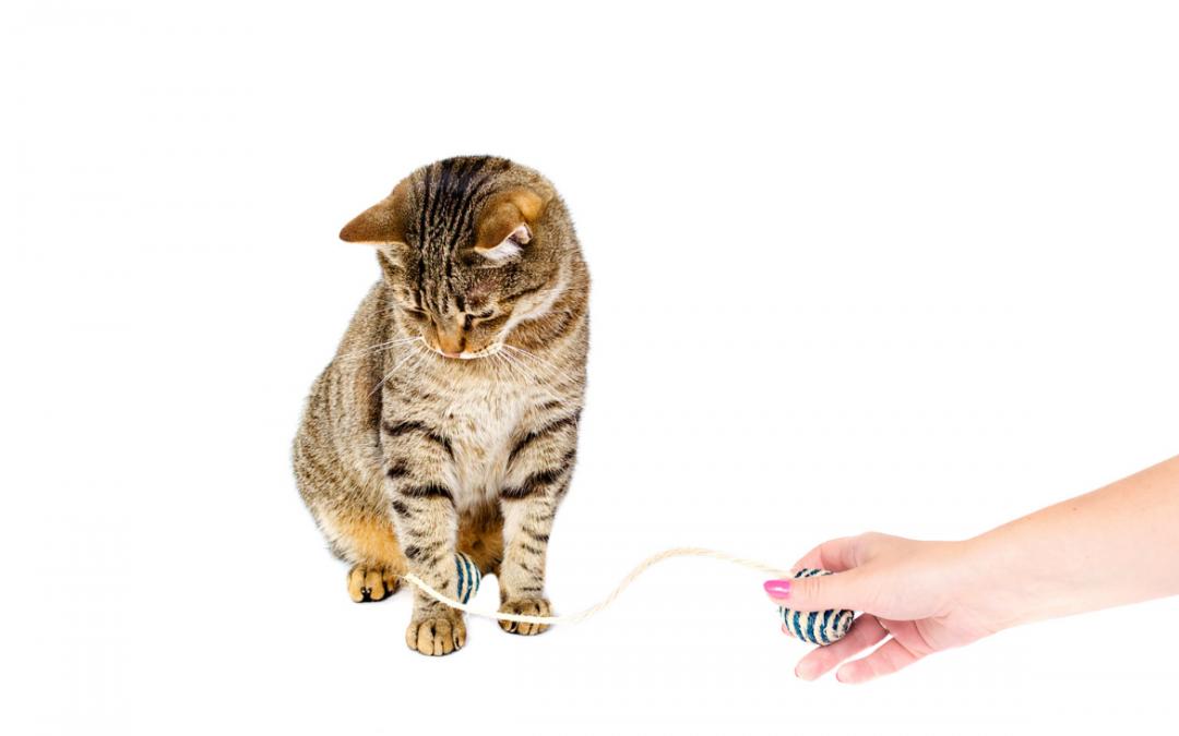 ➤ El gato es la mascota preferida, por la mayoría de los hogares.