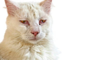 ➤ Herpesvirus felino (FHV-1), la enfermedad respiratoria de vías altas, más común en gatos.