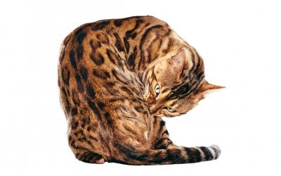 ➤ Gatos híbridos: conoce las 3 razas más populares.